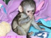 well trained and  home friendly Capuchin available