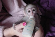 well trained baby Capuchin monkey needs new home