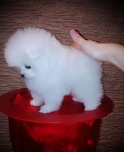 CV  @@@@ Charming Pomeranian up to date on shots. 07031964582