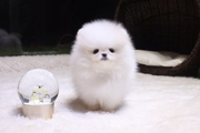 TEN   @@@@ Charming Pomeranian up to date on shots. 07031964582