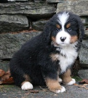 males and females Bernese Mountain Dog Puppies for Sale