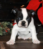 males and females Boston Terrier Puppies for Sale