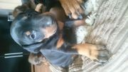 Stunning Dobermann Puppies