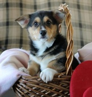 ll Welsh Corgi (Pembroke) Puppies