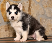 Blue Eyes Siberian Husky Puppies.