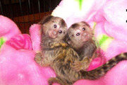 KN8EW males and females Capuchin pygmy marmoset available 07031964582