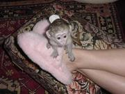 CG males and females Capuchin pygmy marmoset available 07031964582